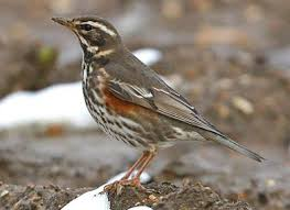 Picture of Redwing