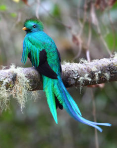 Picture of Quetzal