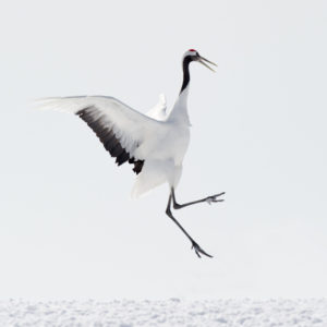 Red-crowned Crane Picture
