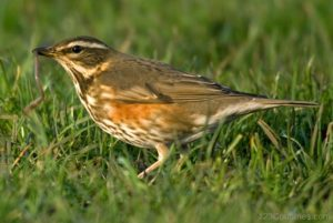 Redwing Picture