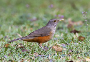 Rufous-Bellied Thrush PICTURE