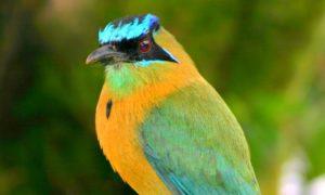 Turquoise-browed Motmot Pics