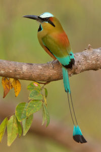 Turquoise-browed Motmot Picture