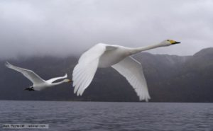 Whooper swan picture