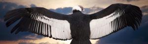 Andean condor: picture