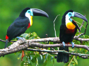 Toucan Pics