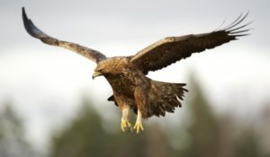 Golden Eagle Pics