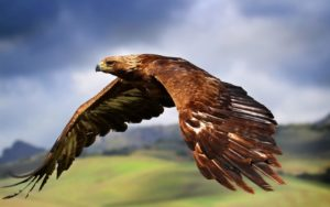 picture of Golden Eagle