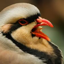 Picture of Chukar partridge