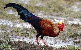 picture of Ceylon Jungle fowl