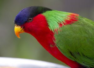 picture of Collared Lory