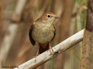 picture of Common Nightingale