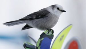 picture of Gray Jay