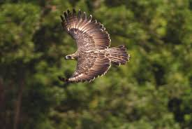 picture of Philippine Eagle