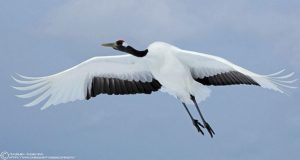 picture of Red-crowned Crane