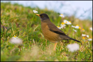 picture of Rufous-Bellied Thrush