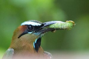 picture of Turquoise-browed Motmot