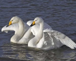 picture of Whooper swan