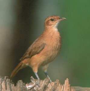 picture of Rufous Hornero