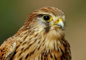picture of Common Kestrel