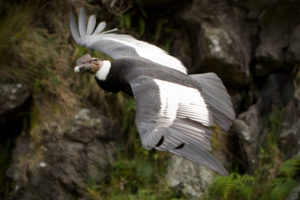 picture of Andean condor: