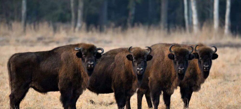 Bison National animal of Belarus