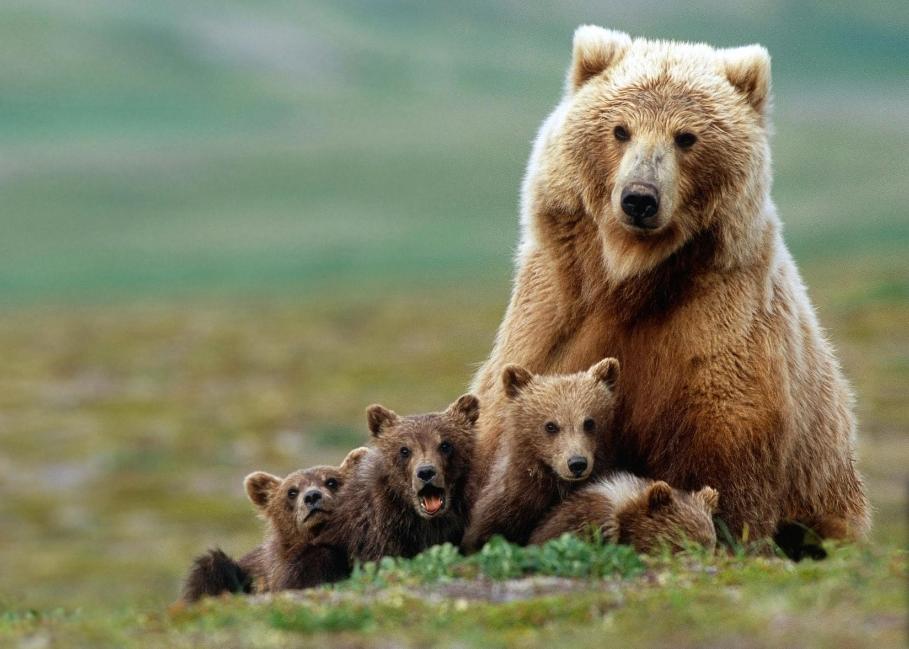 Brown bear National animal of Finland