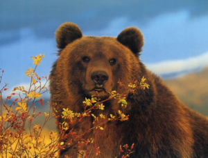 Brown bear : National animal of Finland