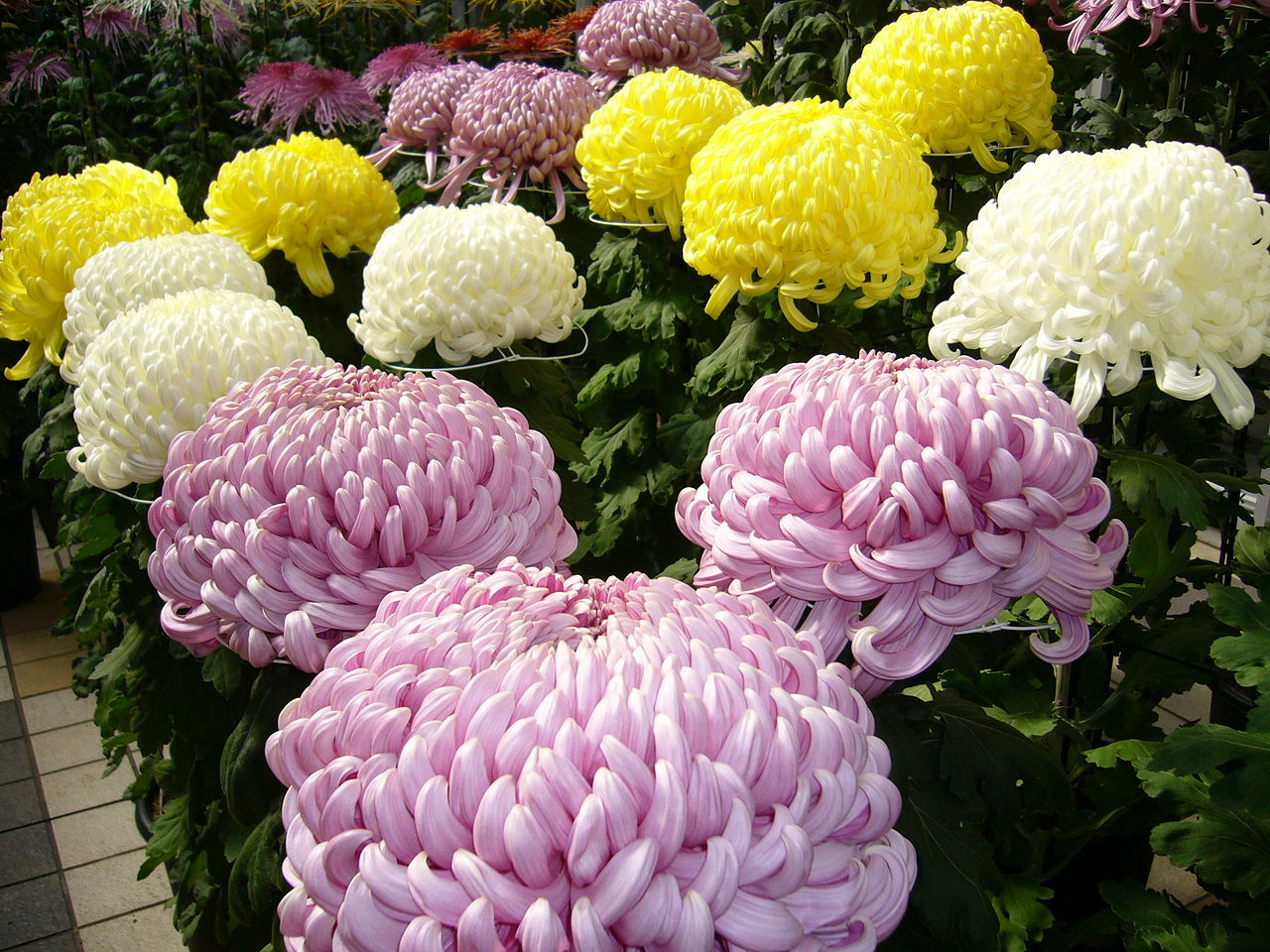 Chrysanthemum National Flower Of Japan Meaning Of The Chrysanthemum
