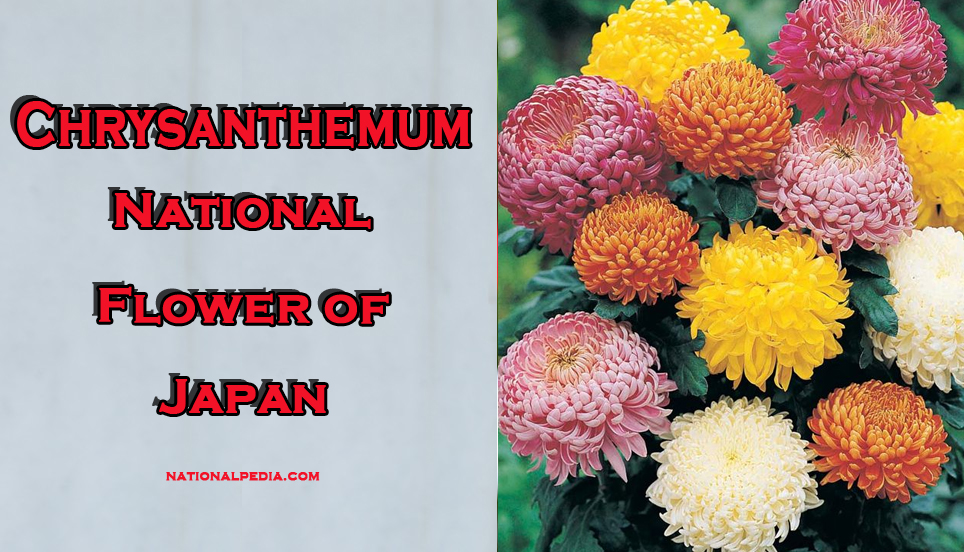 symbols in chrysanthemums The noble chrysanthemum: 9 ways to energize your life with the feng shui symbol for fall  here are nine ways to use chrysanthemums in feng shui: 1.