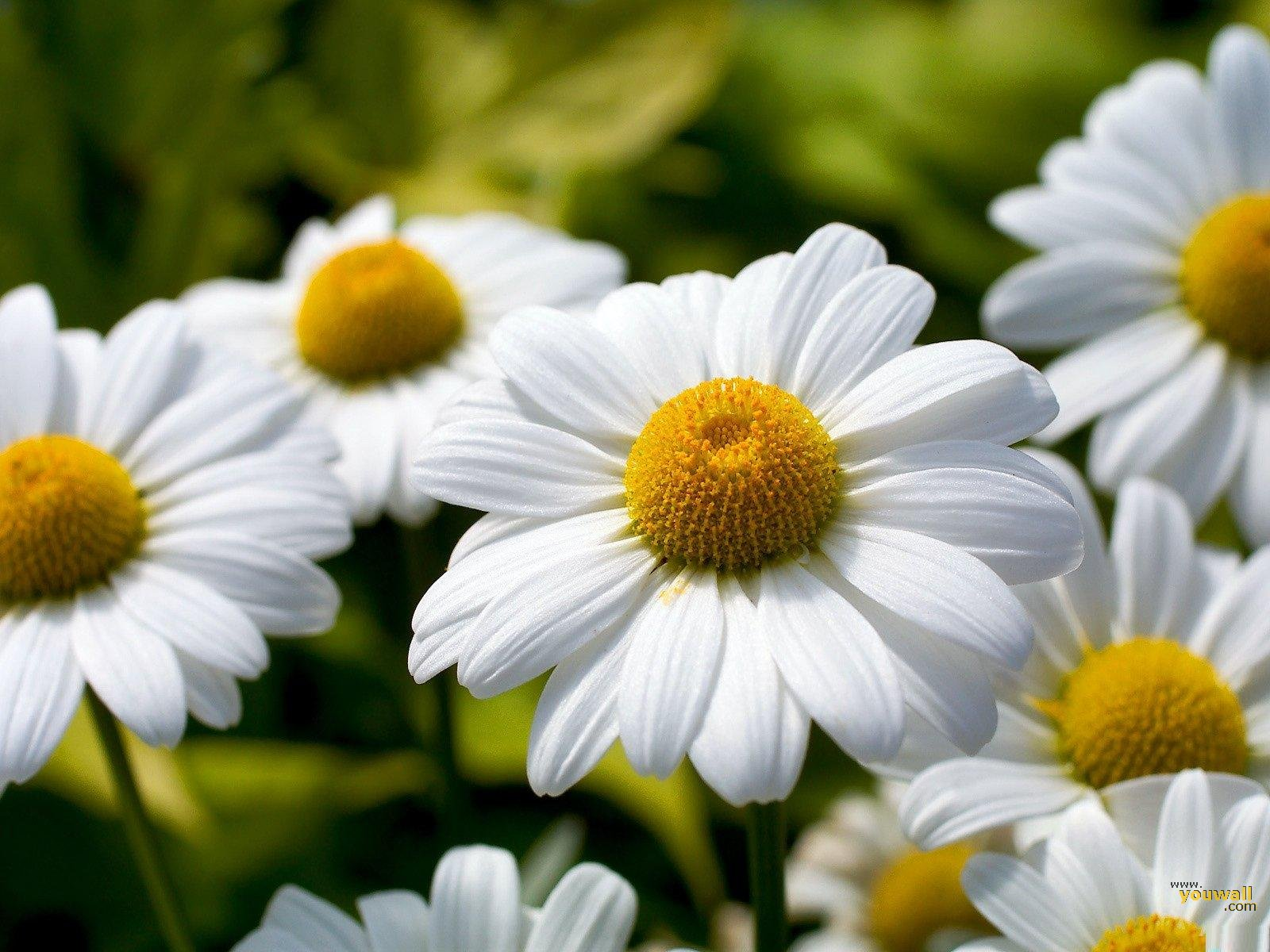 Marguerite Daisy: National Flower Of Denmark