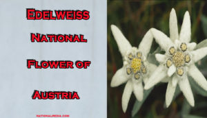 Edelweiss: National Flower of Austria