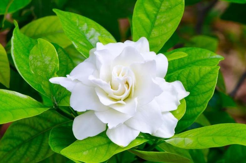 Gardenia: National Flower of Andorra