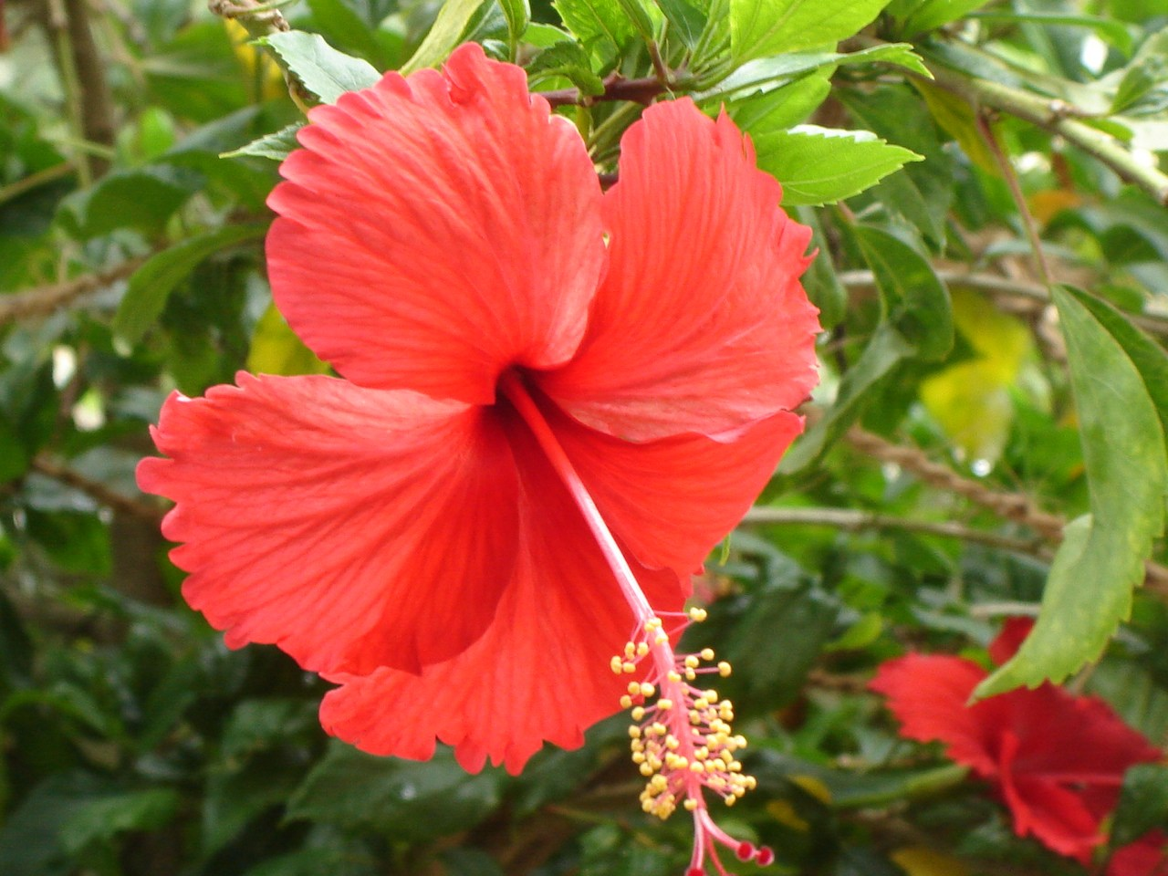 Hibiscus National Flower Of Haiti Meaning Of The Hibiscus
