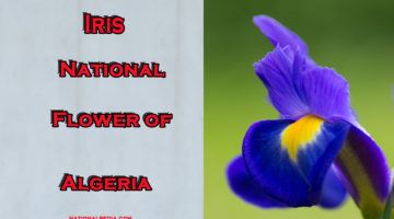 Iris: National Flower of Algeria