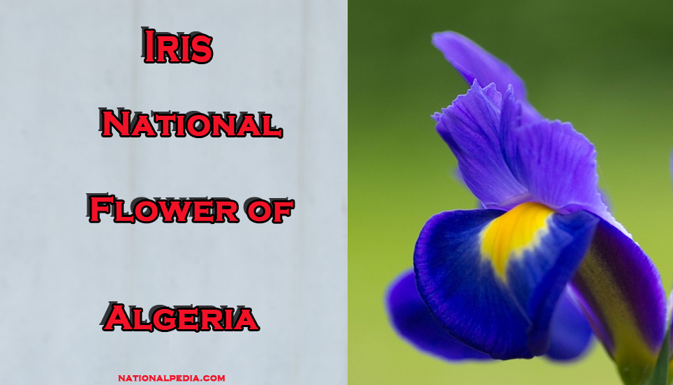 Iris National Flower Of Algeria Meaning Of The Iris