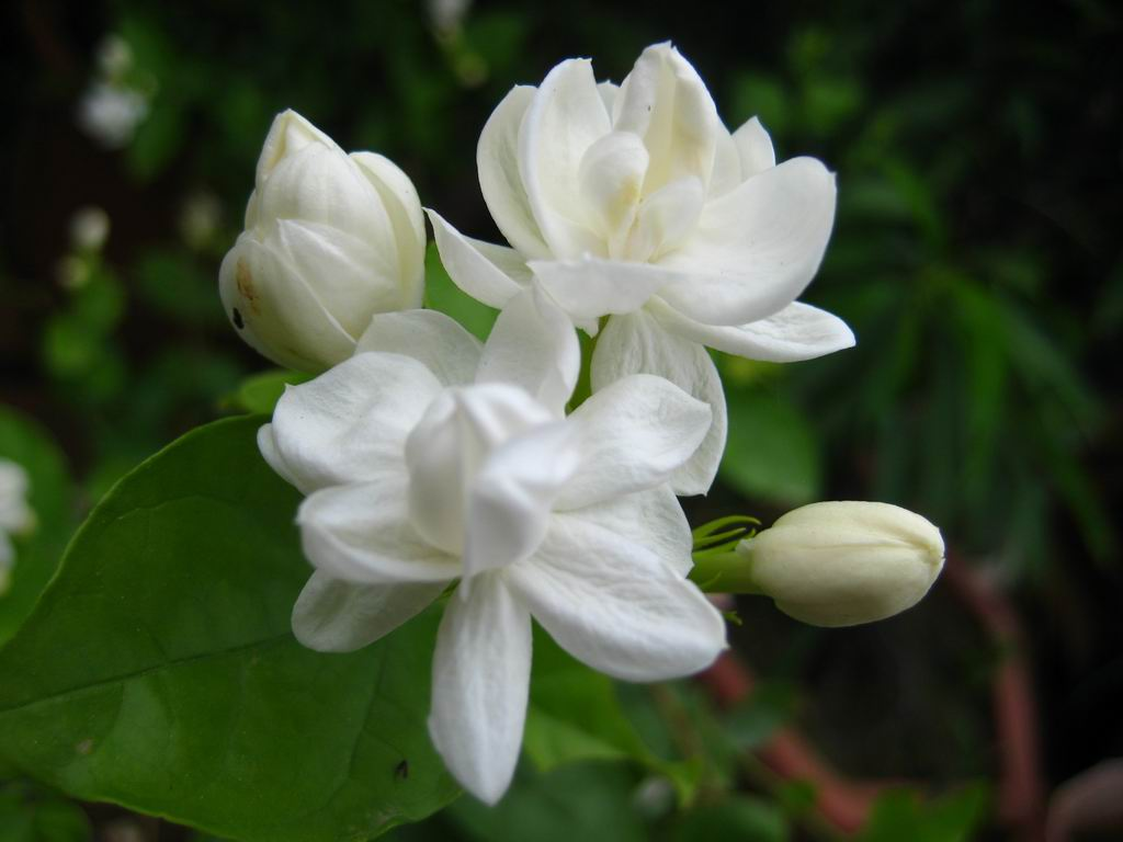 Jasmine: National Flower of Pakistan