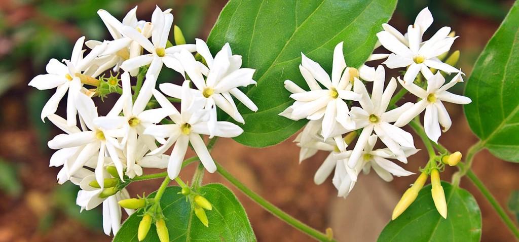 Jasmine: National Flower of Pakistan
