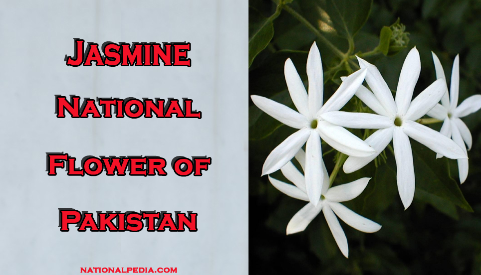 Jasmine National Flower Of Pakistan Meaning Of The Jasmine
