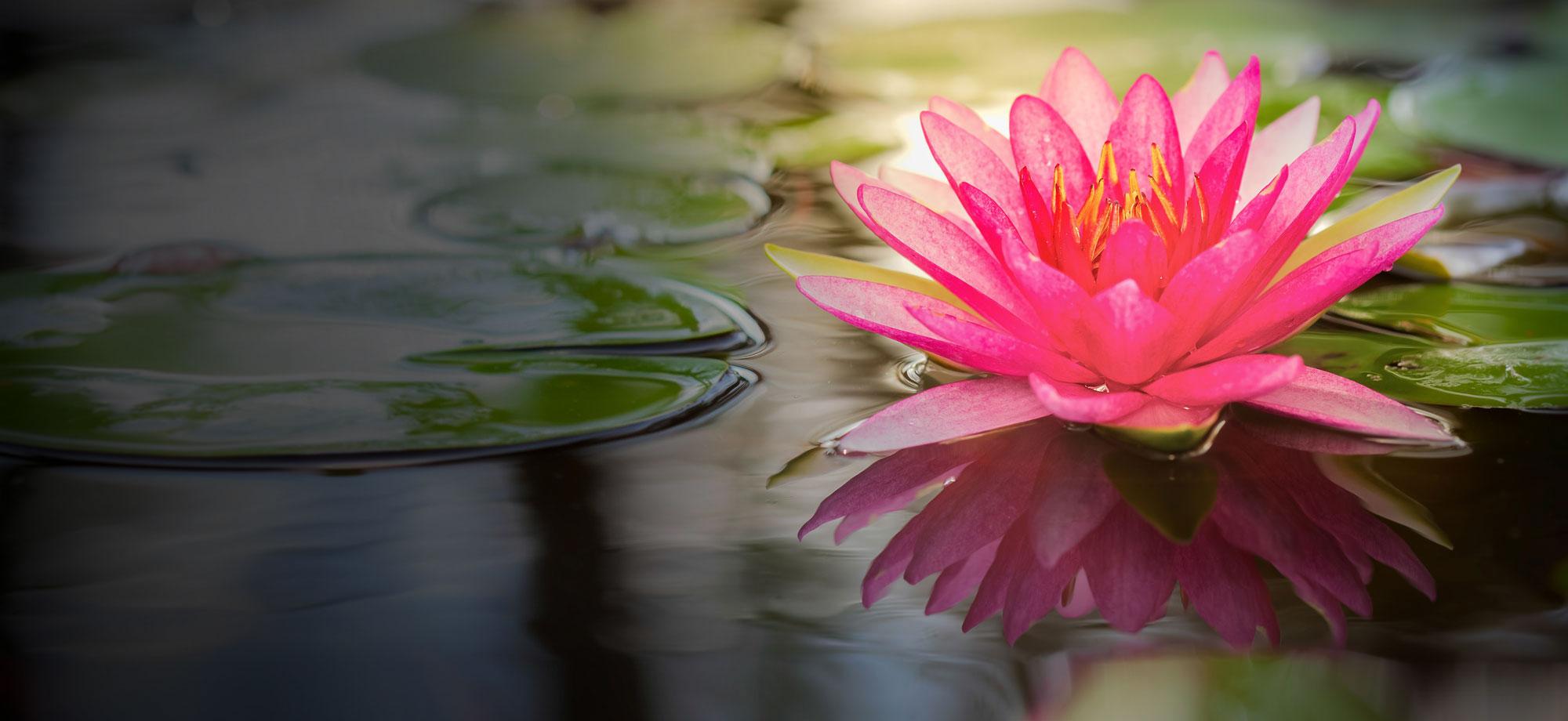 Lotus: National Flower of Egypt