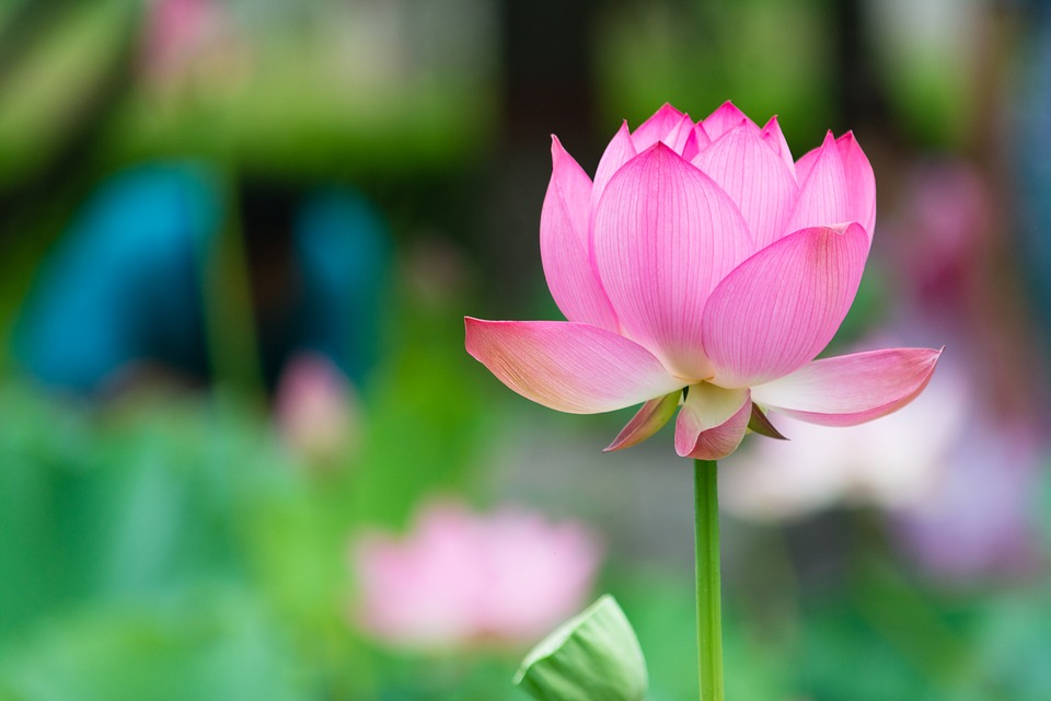 Lotus national flower of egypt meaning of the lotus lotus national flower of egypt mightylinksfo