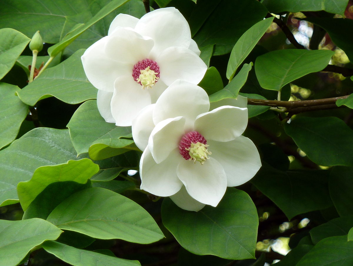 Magnolia sieboldii: National Flower of North Korea