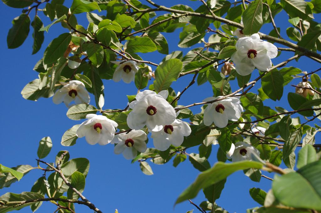 Magnolia sieboldii: National Flower of North Korea