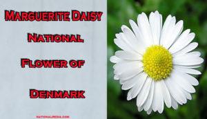 Marguerite Daisy: National Flower Of Denmark