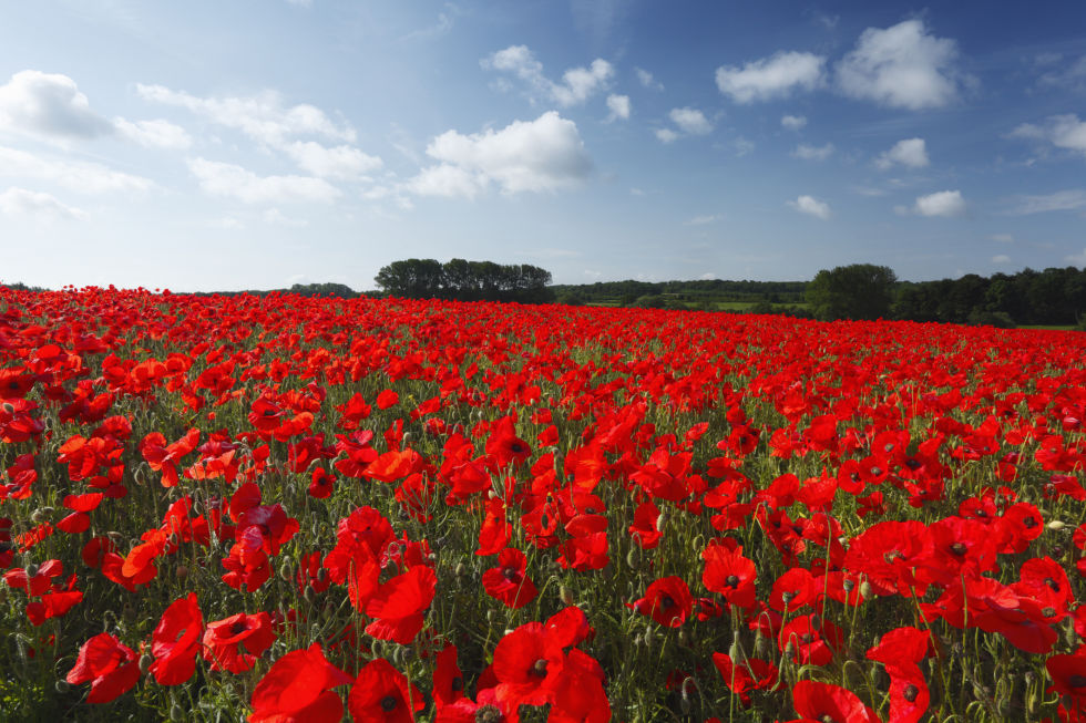 Red Poppy: National Flower of Belgium