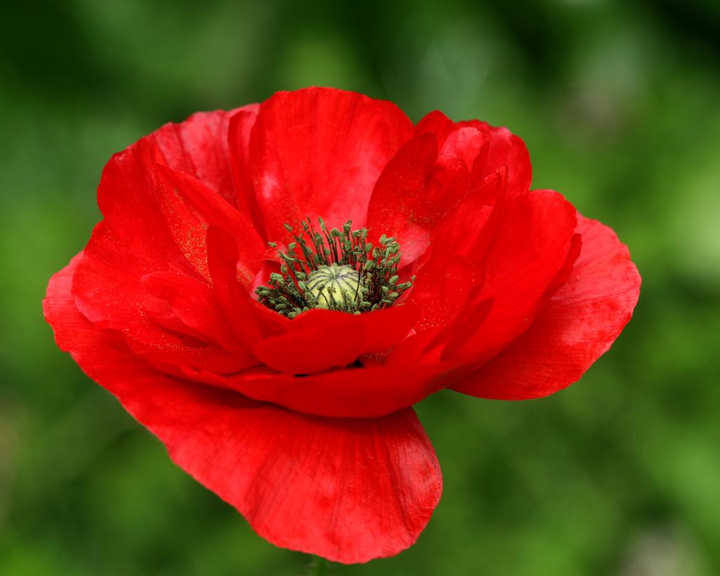 Red Poppy: National Flower of Belgium