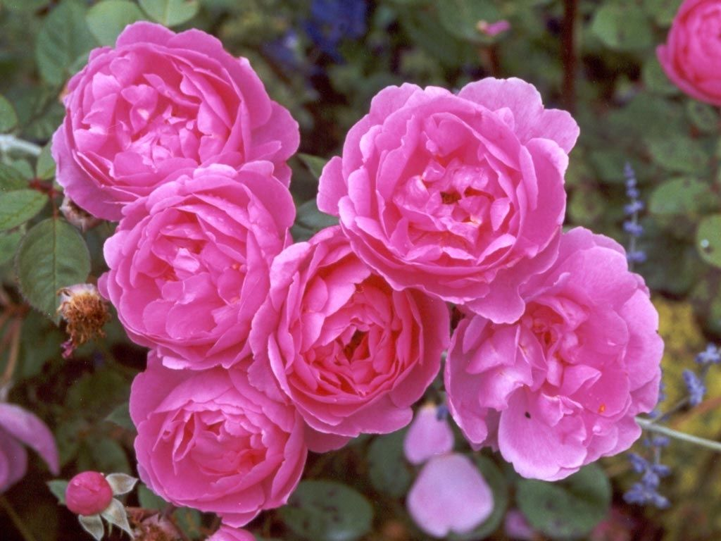 Rose (Rosa): National Flower of Slovakia