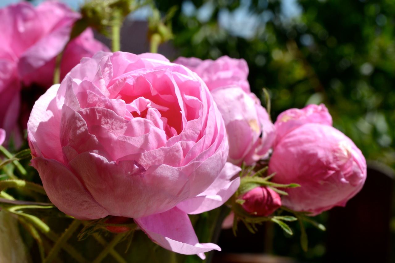 Roses: National Flower of Bulgaria