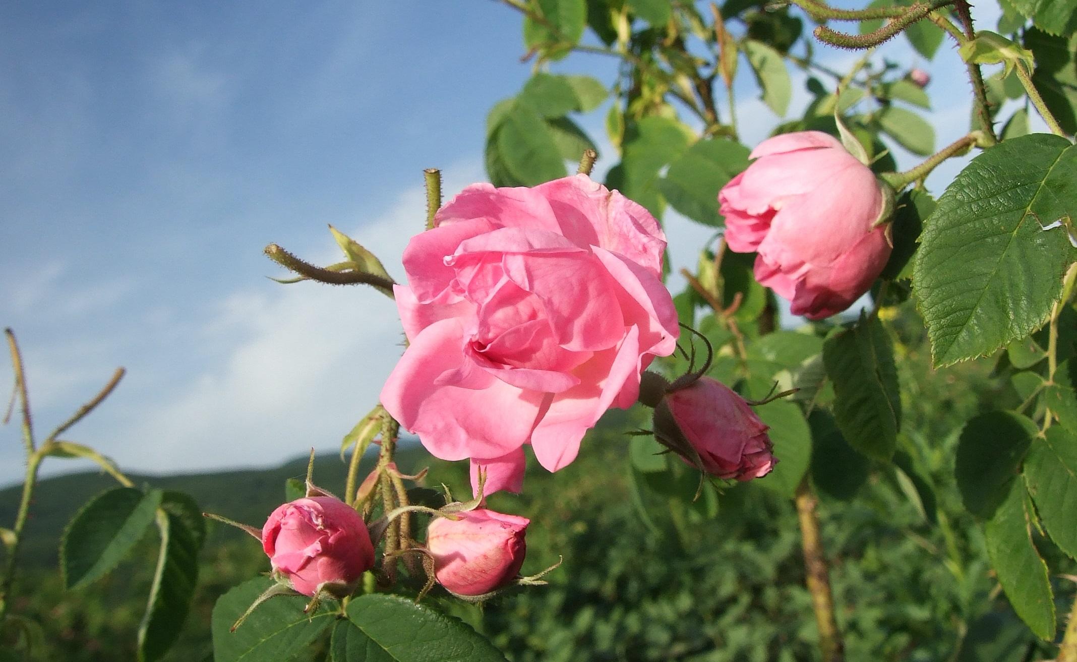 Болгарские розы дамасцена фото