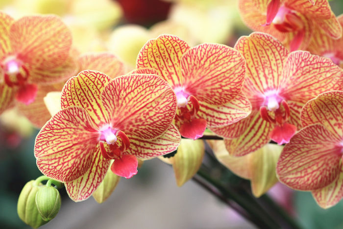 Tropical Orchid: National Flower of Kenya